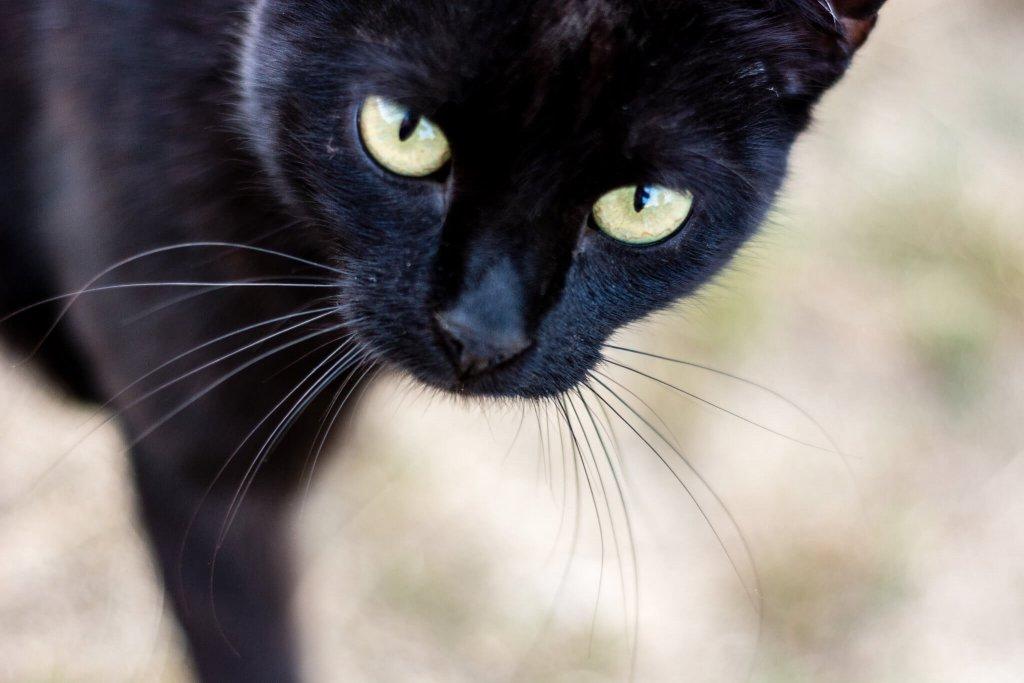 yakın çekim siyah kedi
