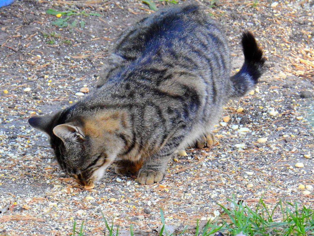 yer fıstığı yiyen kedi