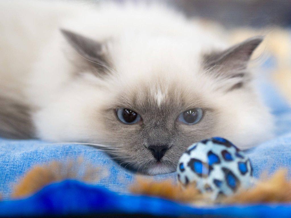 Ragdoll kedisi yatıyor