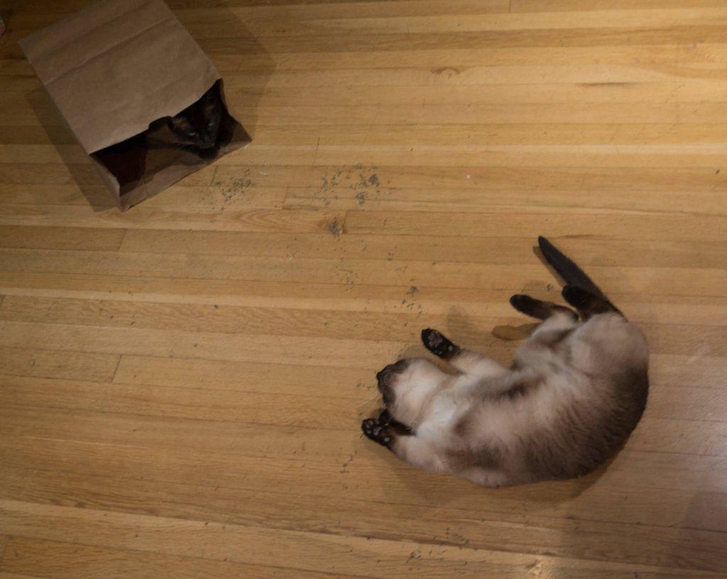 yerde catnip, çıldıran kedi