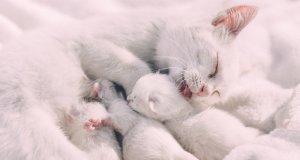 Anne kedi yavrularıyla ilgileniyor