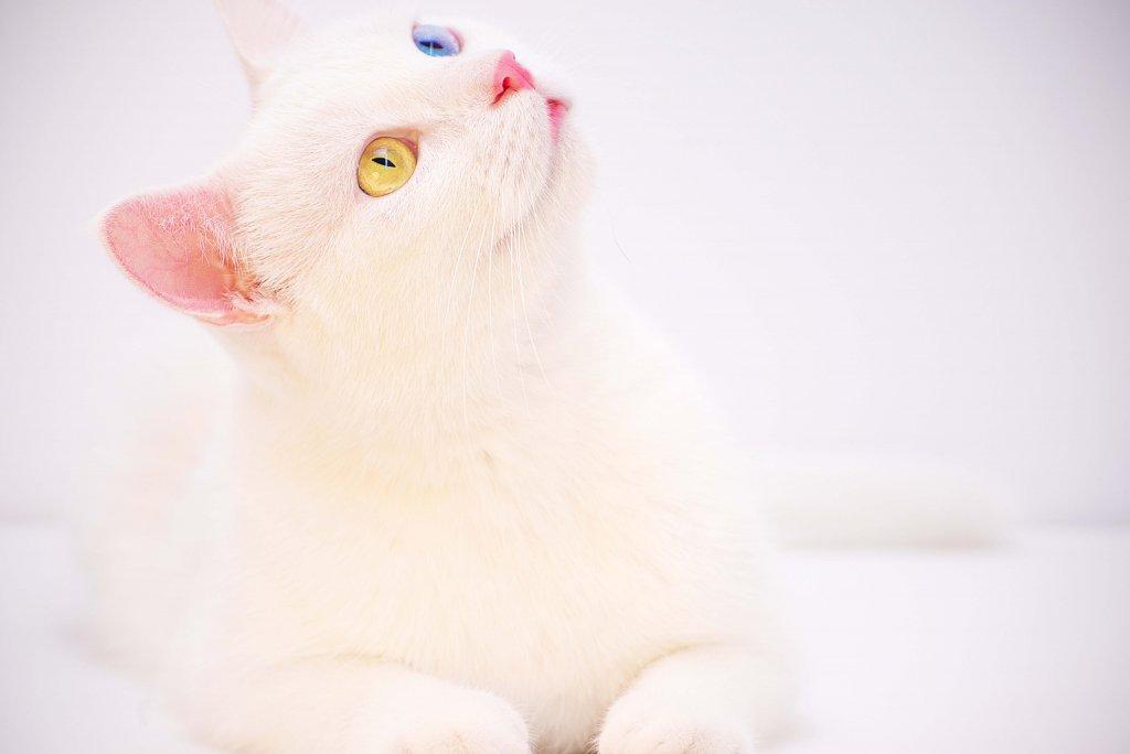 yukarı bakan van kedisi