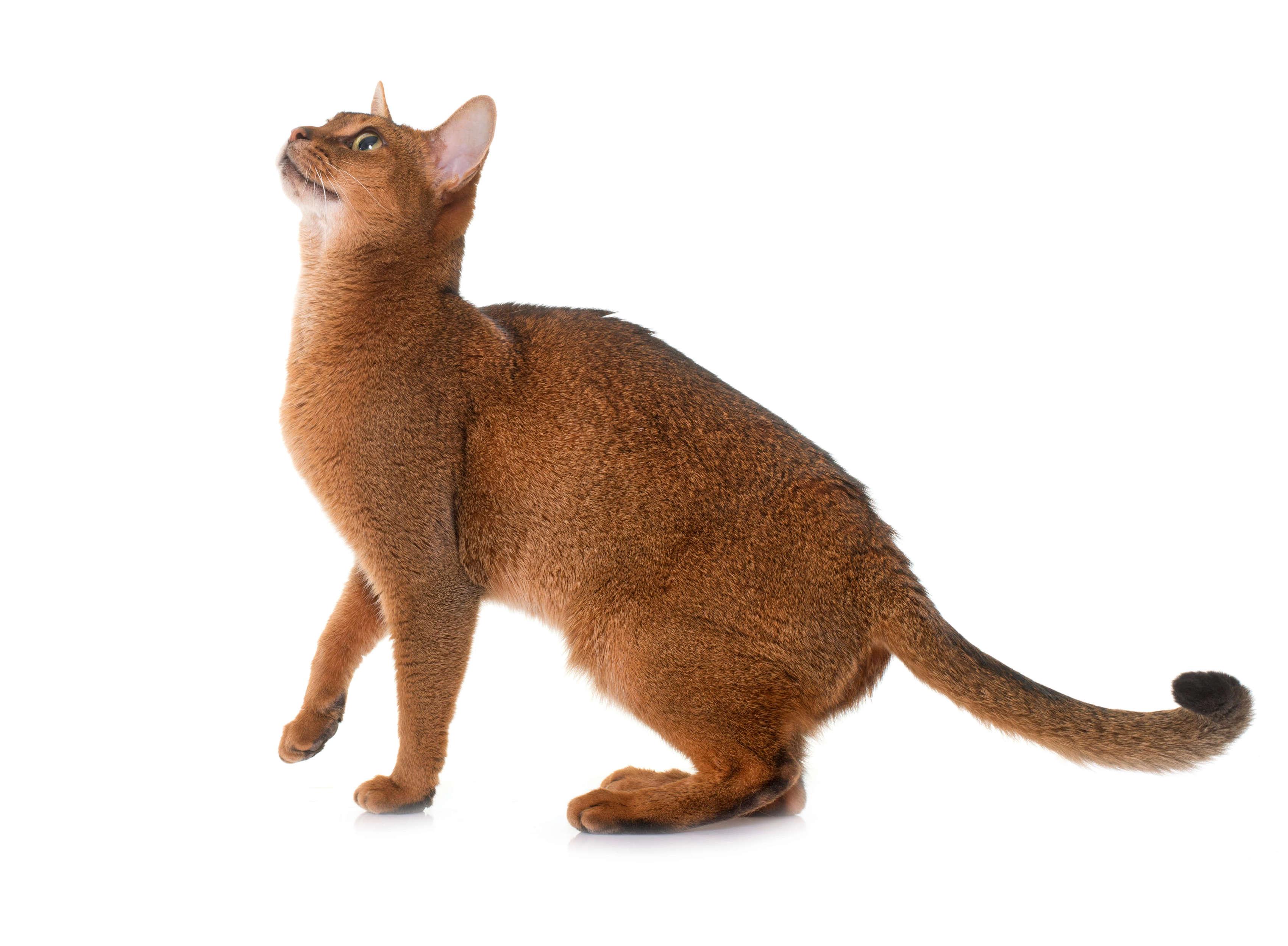 meraklı habeş kedisi