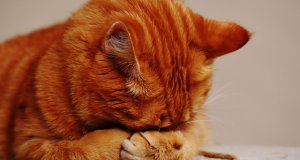 hasta kedi