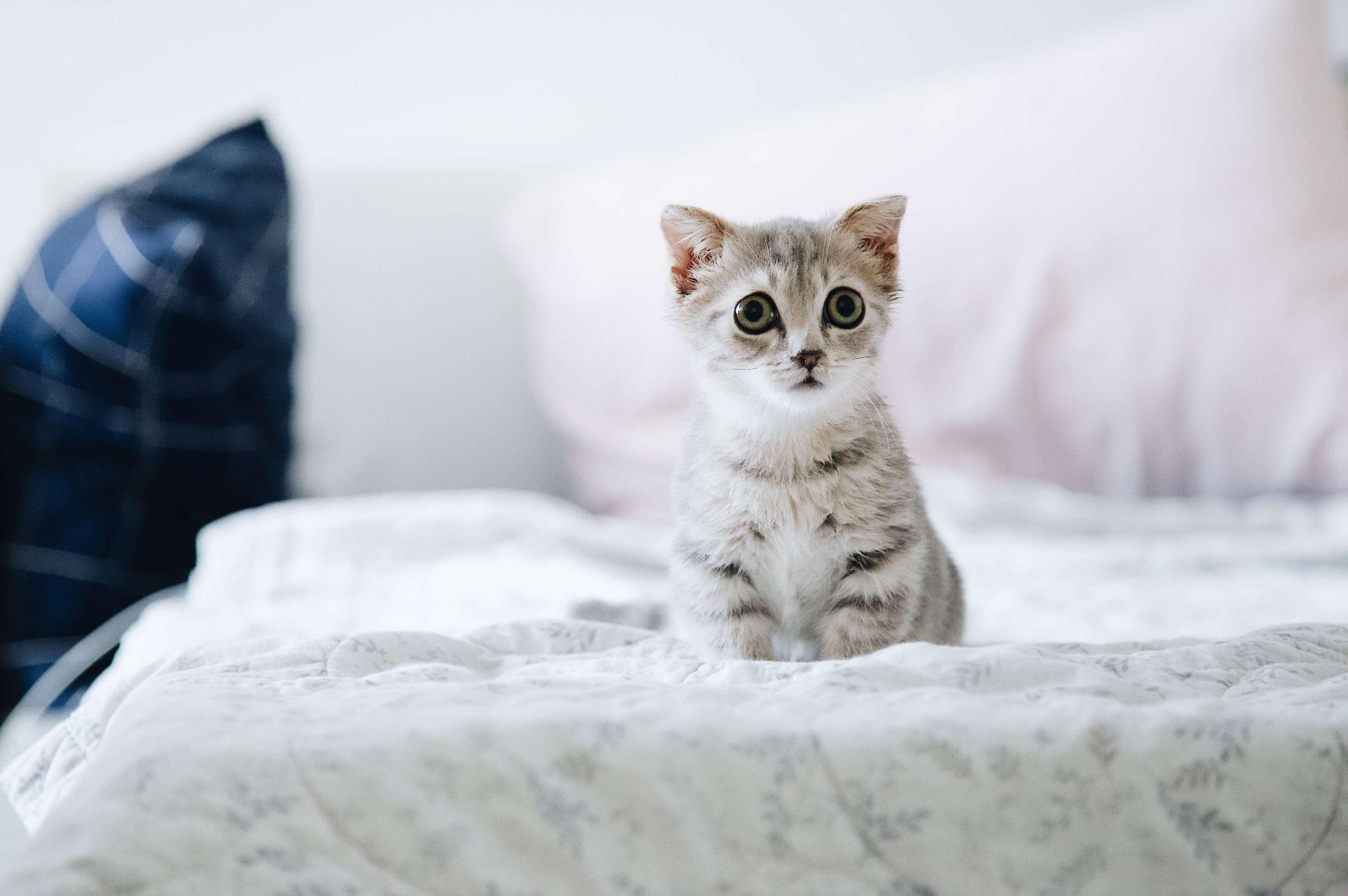 yatakta, korkmuş yavru kedi