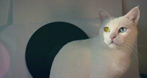 güneşlenen van kedisi
