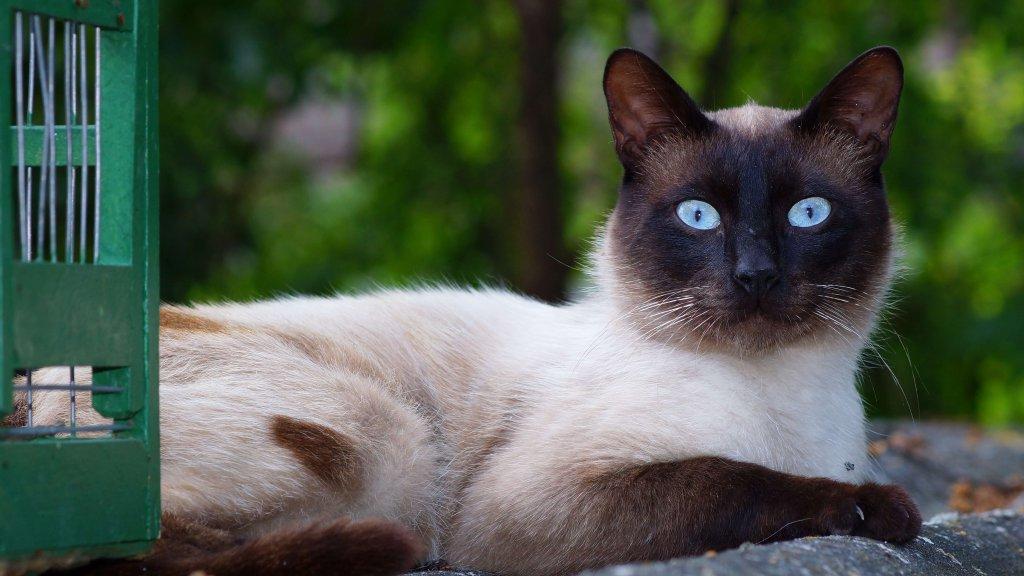 yatan siyam kedisi