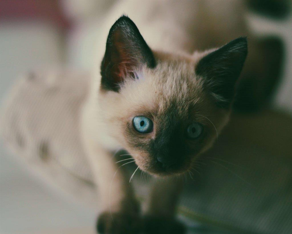 yavru siyam kedisi