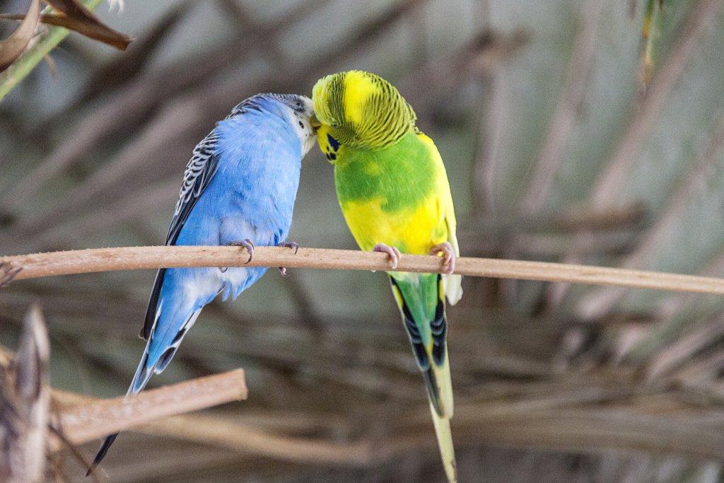 öpüşen muhabbet kuşları