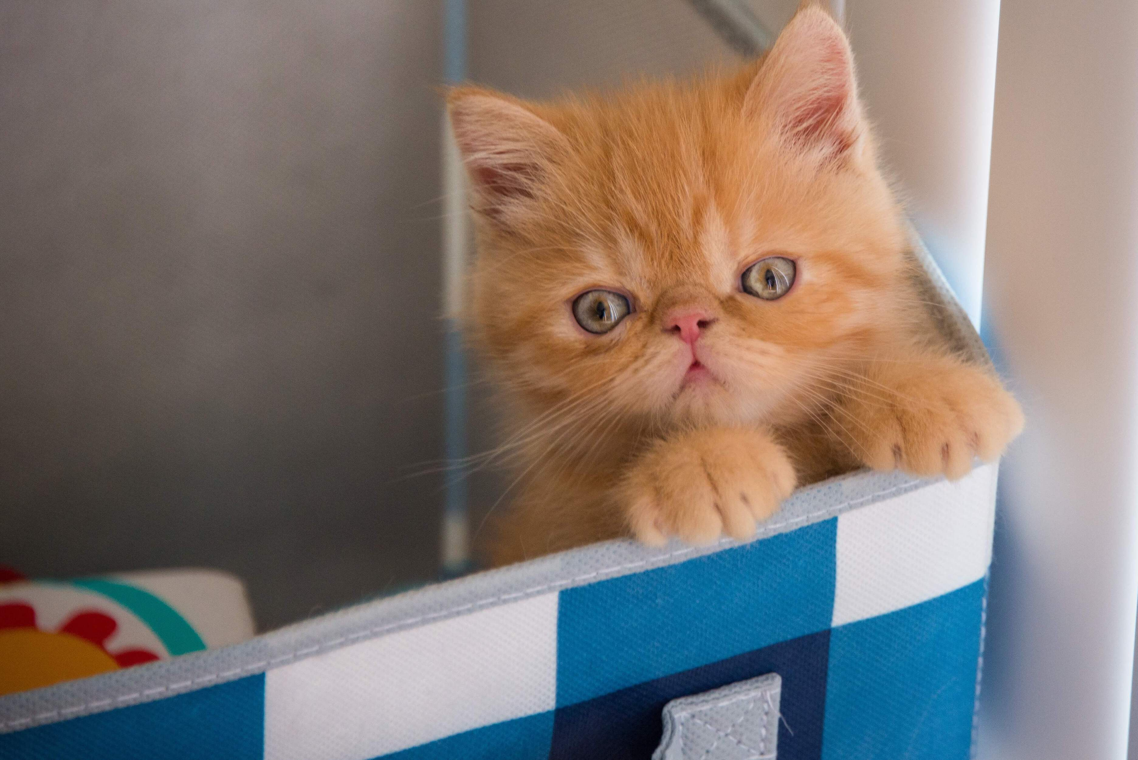 sarı yavru iran kedisi
