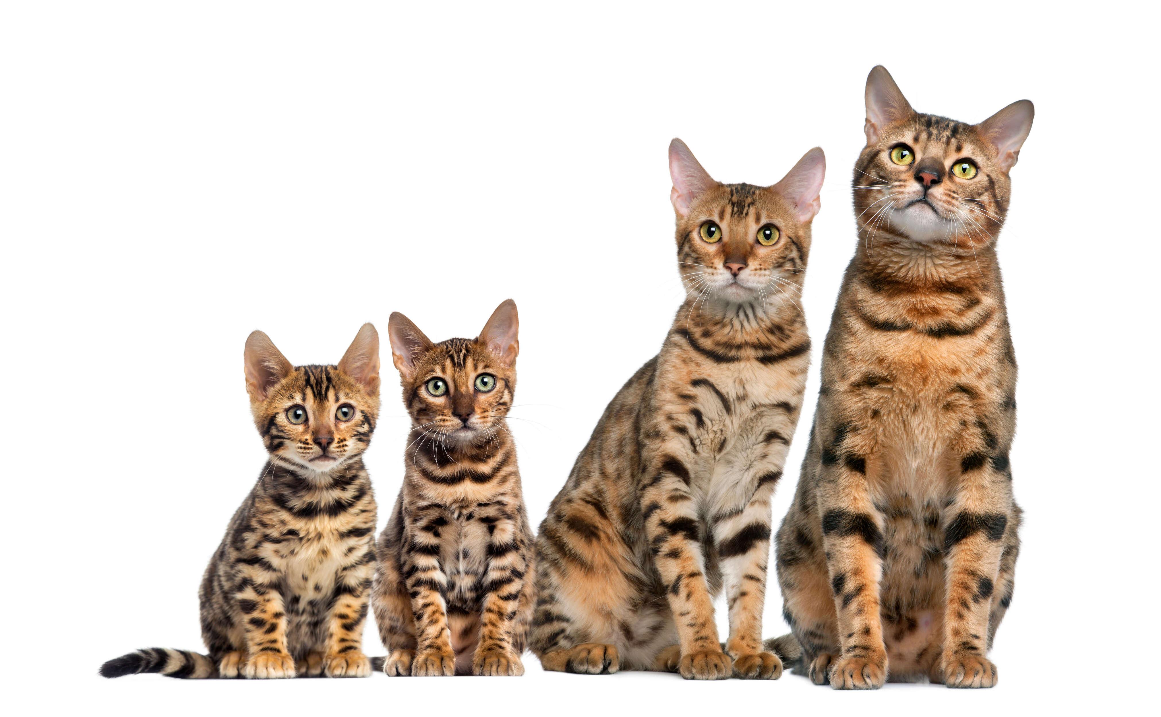 bengal kedi ailesi