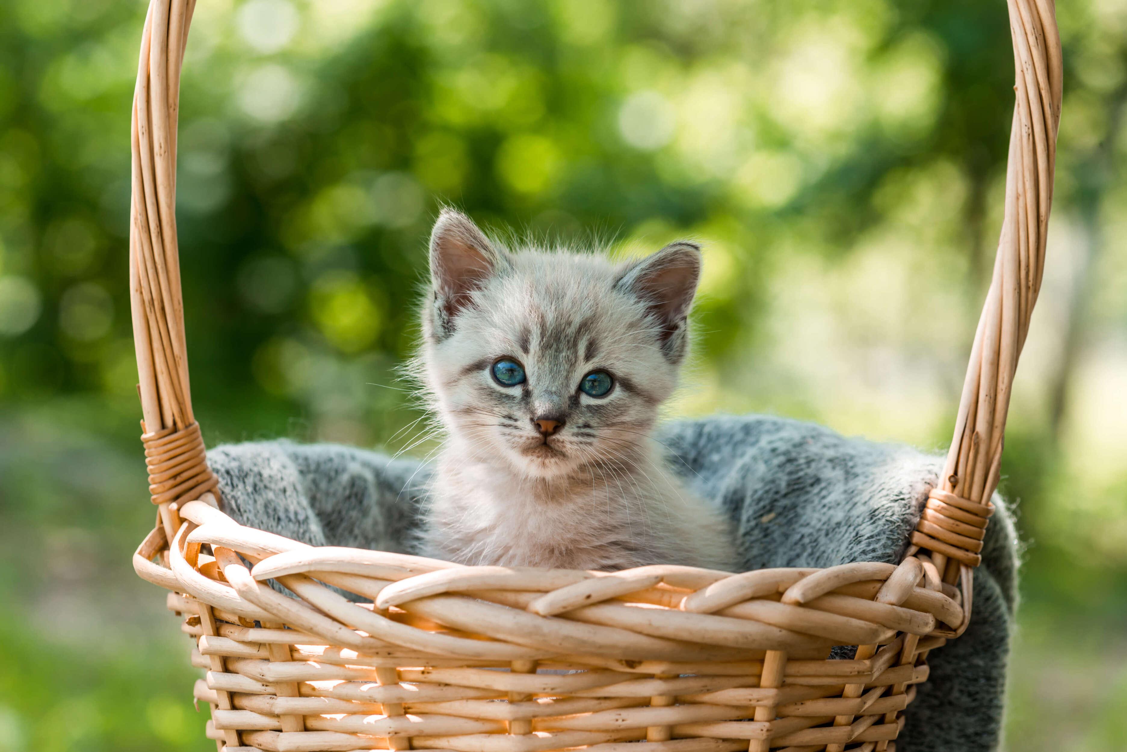 sepet içindeki yavru kedi
