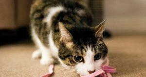 pembe iple oynayan kedi