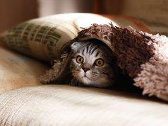 battaniye altına saklanmış scottish fold