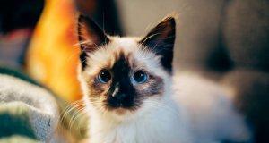 mavi gözlü yavru kedi