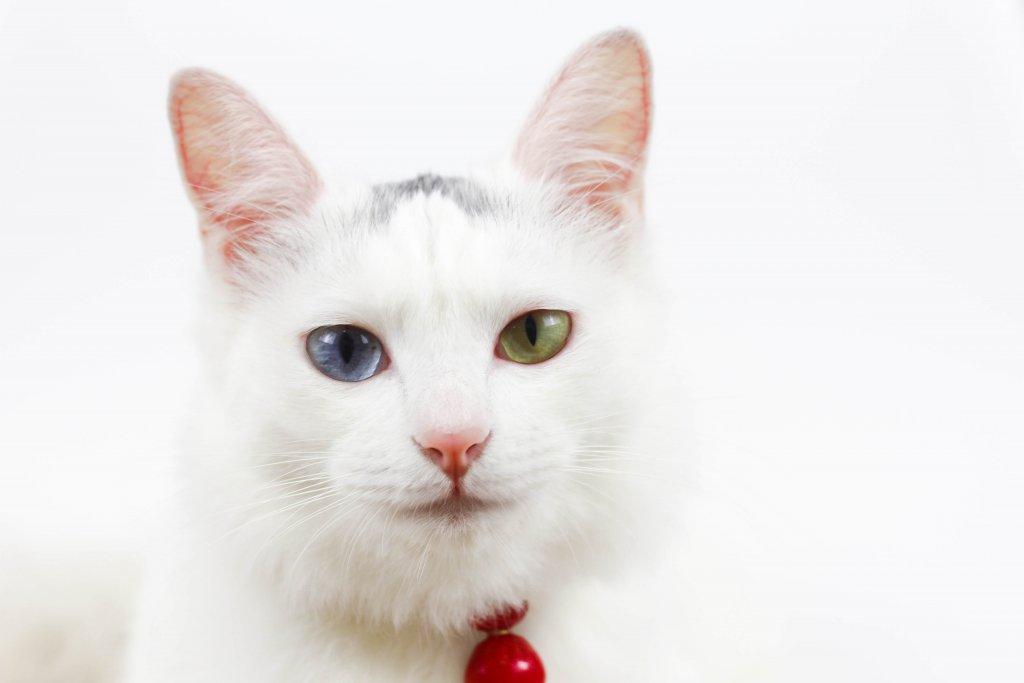 beyaz van kedisi