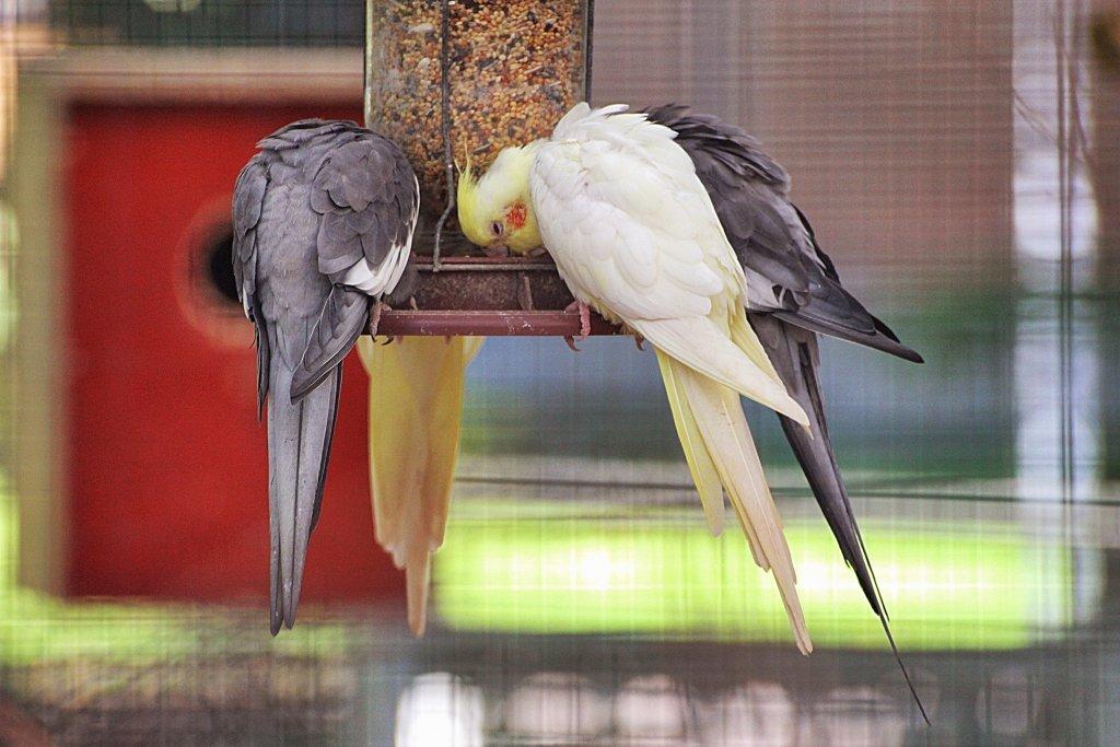 beslenen sultan papağanları