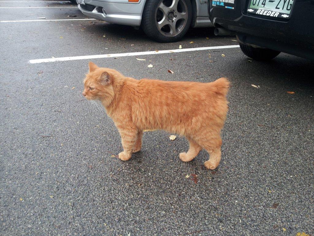sarı manx kedisi