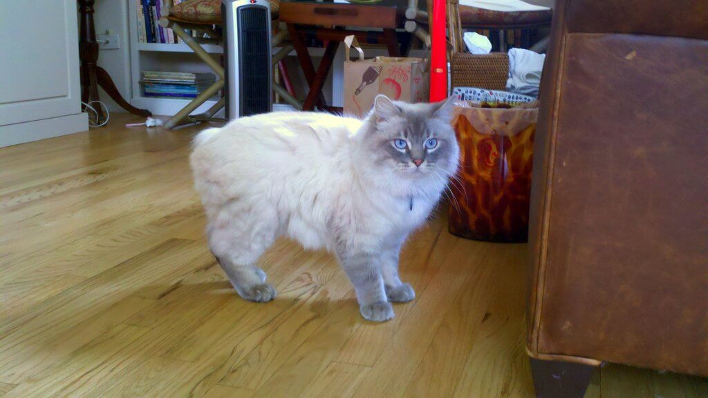 cymric kedisi