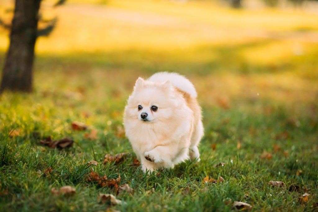 yetişkin pomeranian sonbaharda yürüyüş yapıyor