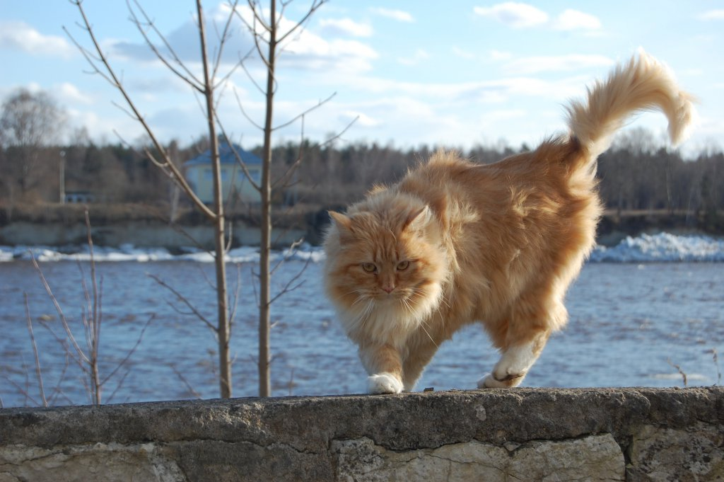 sarı norveç orman kedisi