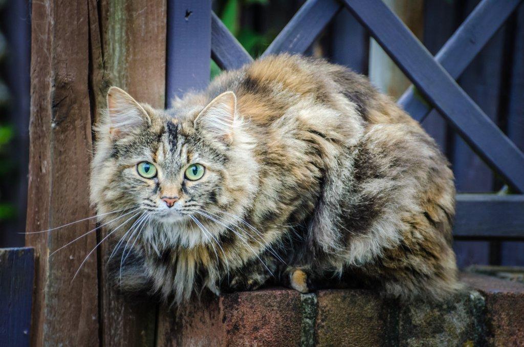 tekir norveç orman kedisi