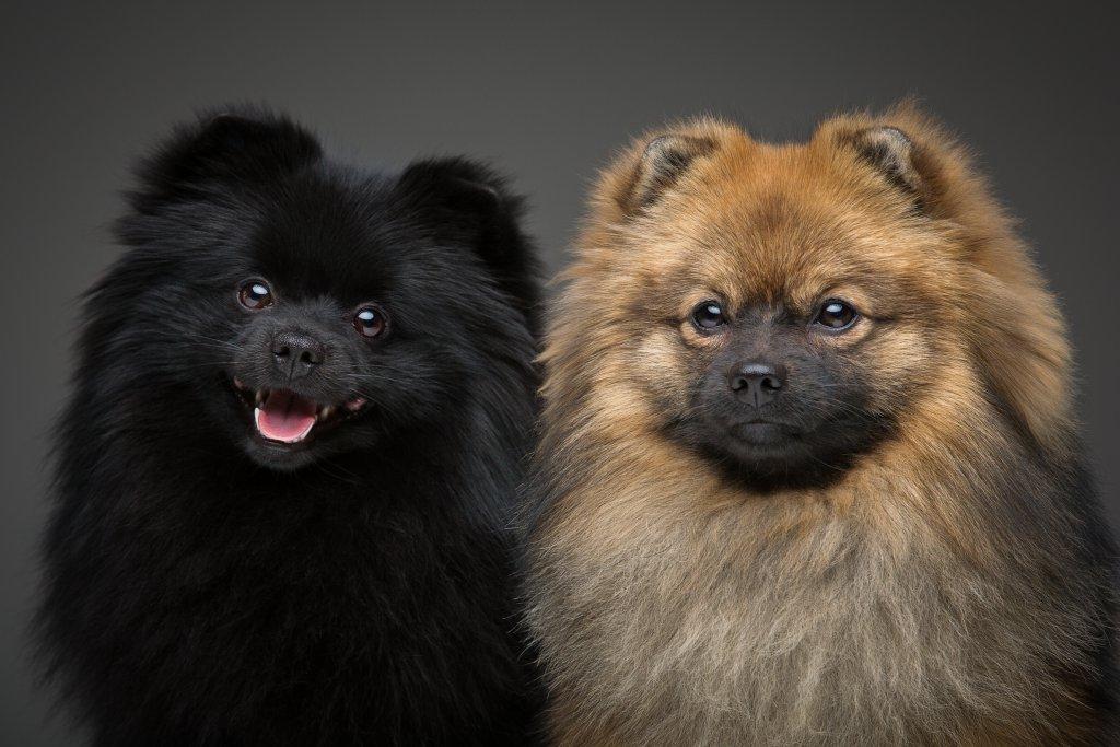 siyah ve kahverengi pomeranian