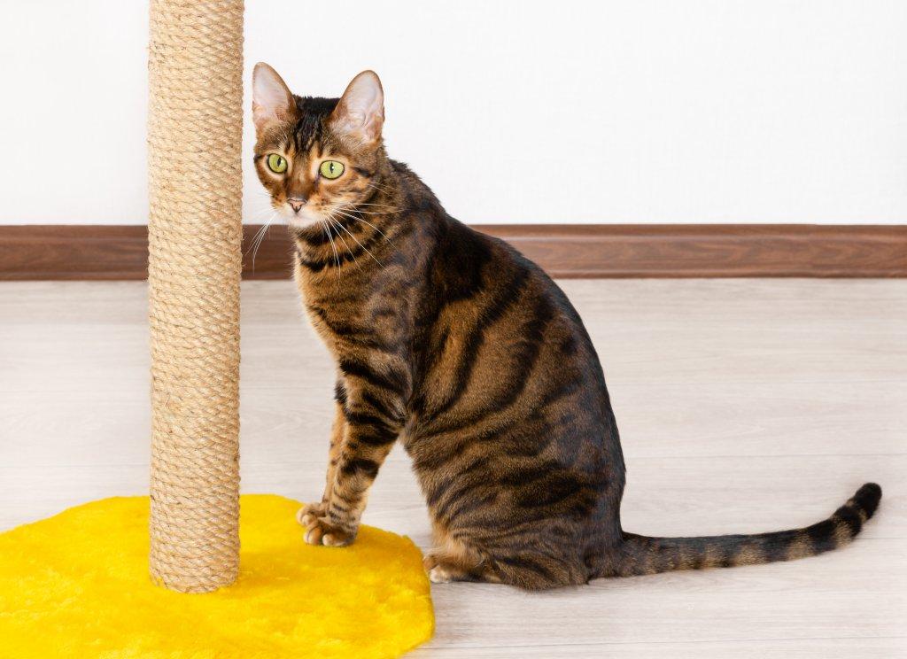 tırmalama tahtası ve tekir kedi
