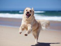 golden retriever kumsalda koşuyor