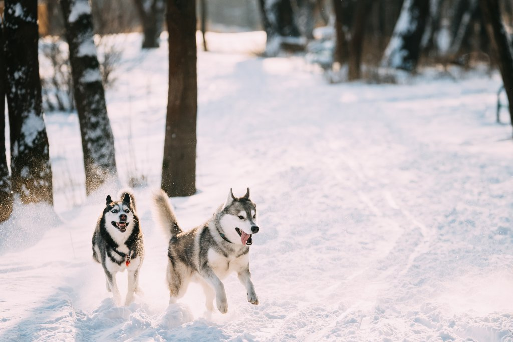 karlı havada eğlenen sibirya kurdu