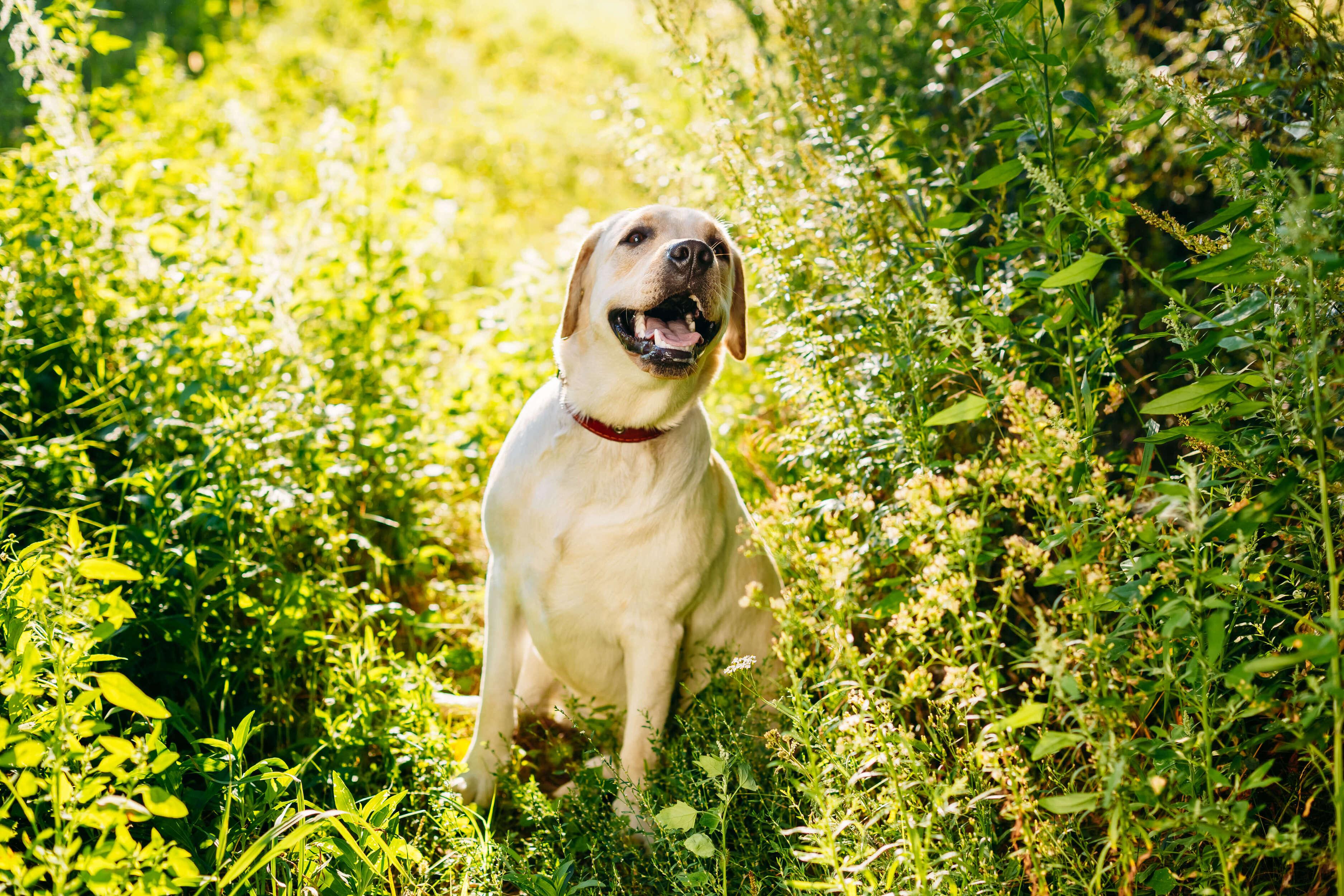 çimde güneşlenen labrador retriever