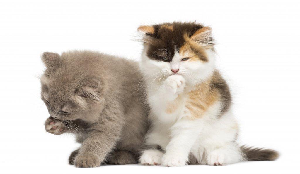 kendilerini temizleyen kediler