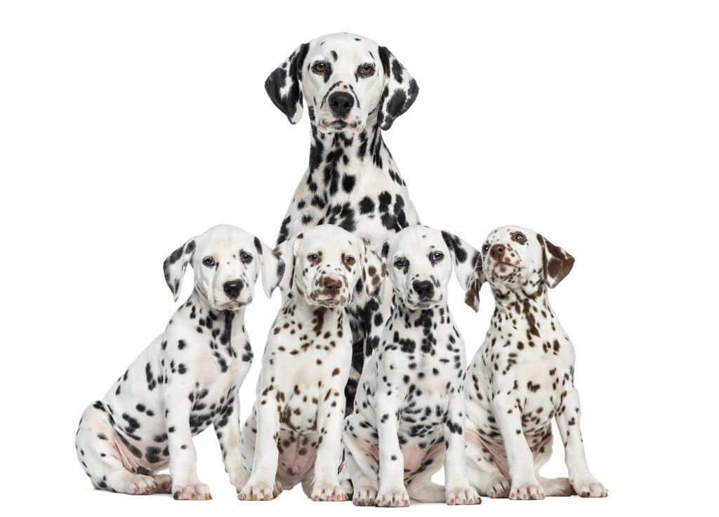 dalmaçyalı ailesi