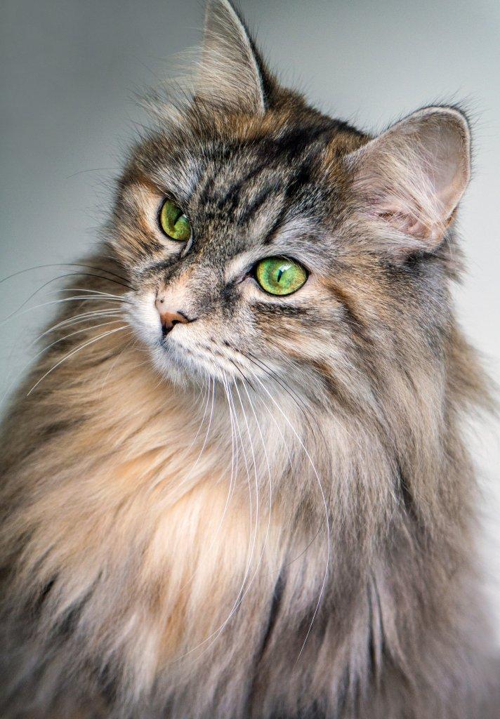 zümrüt yeşili gözleriyle norveç orman kedisi