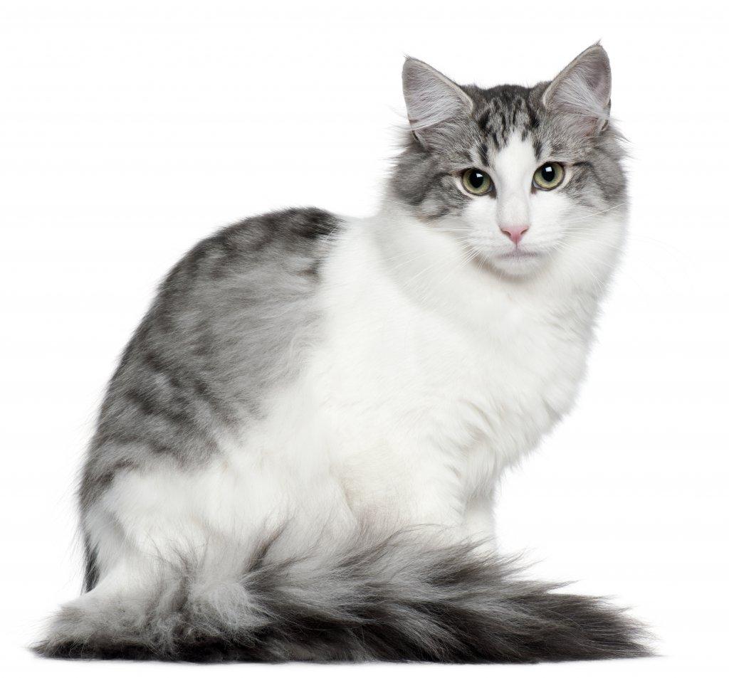 5 aylık norveç orman kedisi