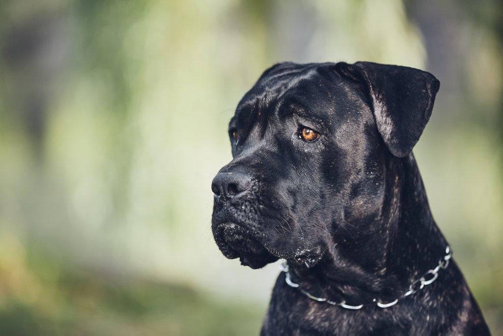 güneşli günde köpek portresi cone corso