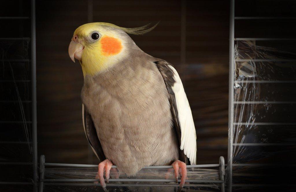 kafesinin kapısında sultan papağanı
