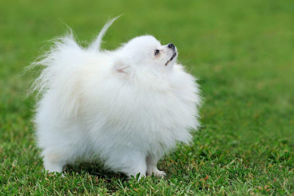 beyaz pomeranian köpeği