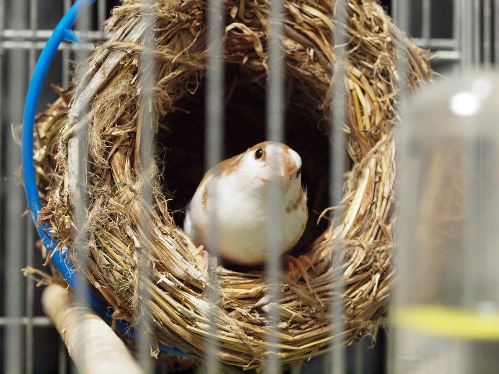 ispinoz yuvasından dışarı bakıyor