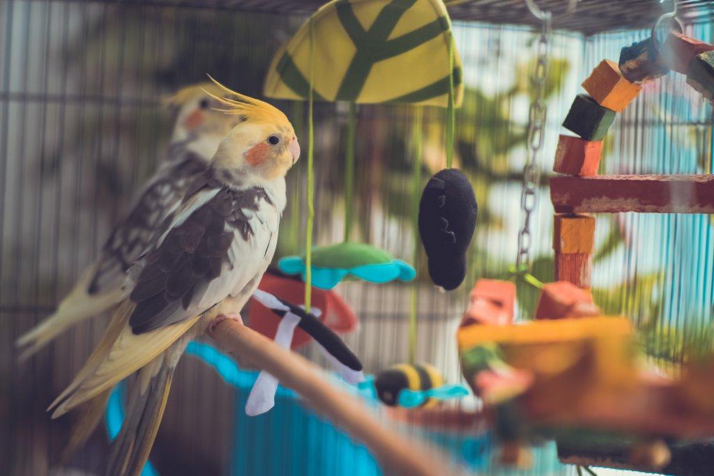 sultan papağanı kafesinde oyun oynuyor
