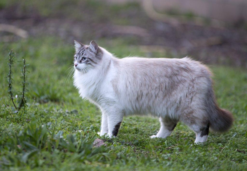 doğada birman kedisi
