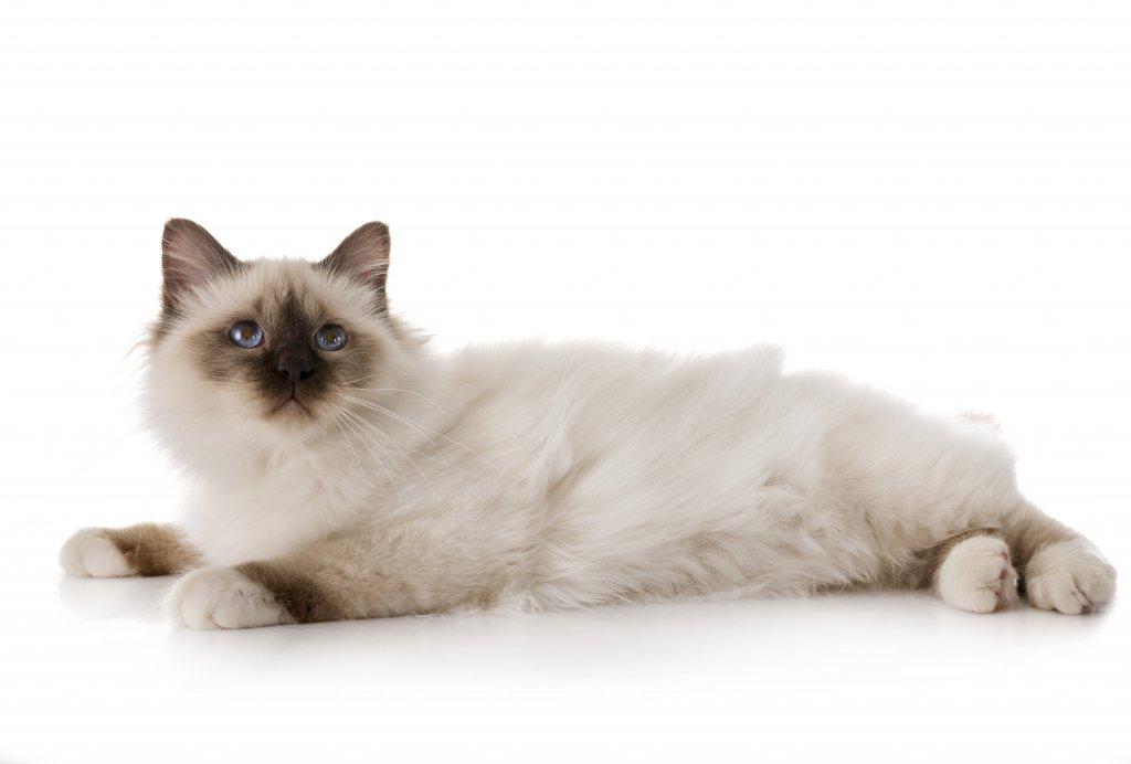 birman kedisi beyaz arkaplan