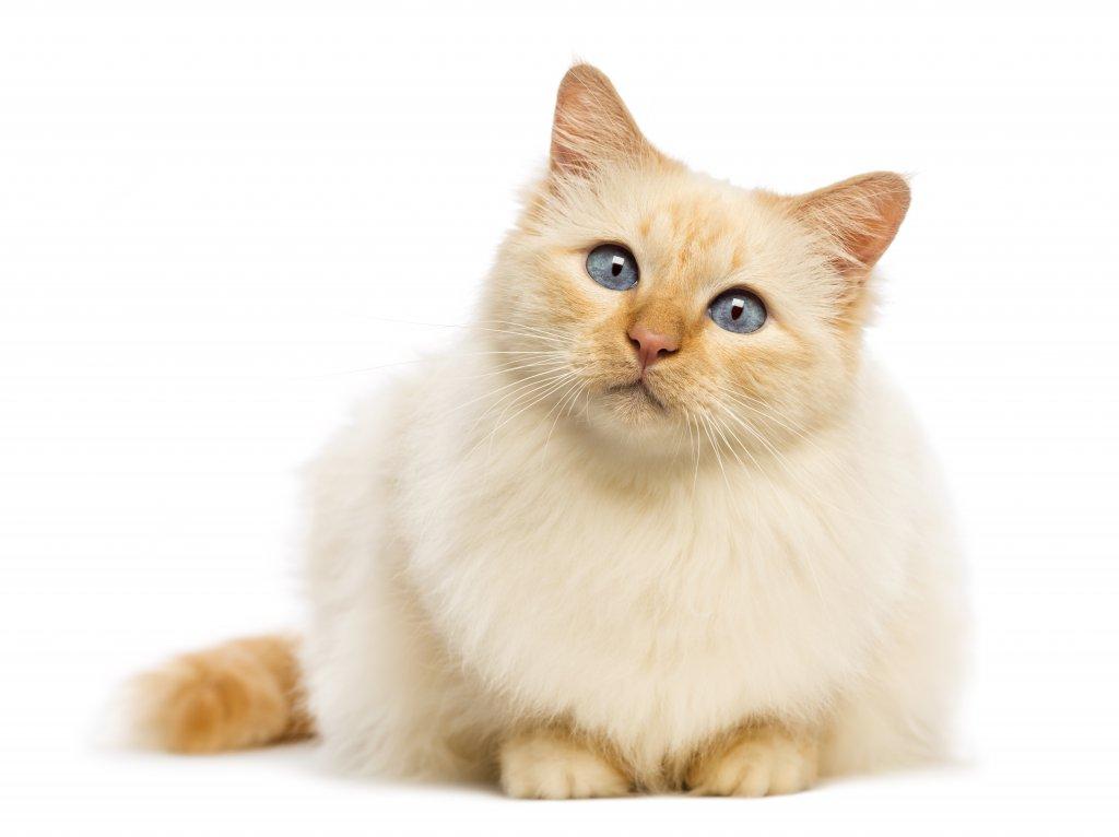 birman kedisi yakın çekim