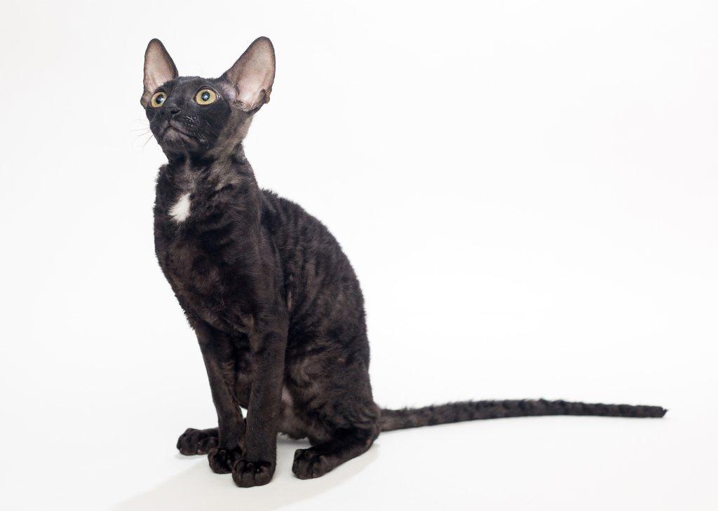 siyah Cornish Rex kedisi