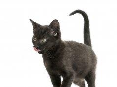 2 aylık siyah kedi yalanıyor