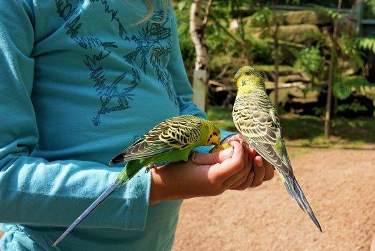 çocuk elinde 2 tane muhabbet kuşu tutuyor