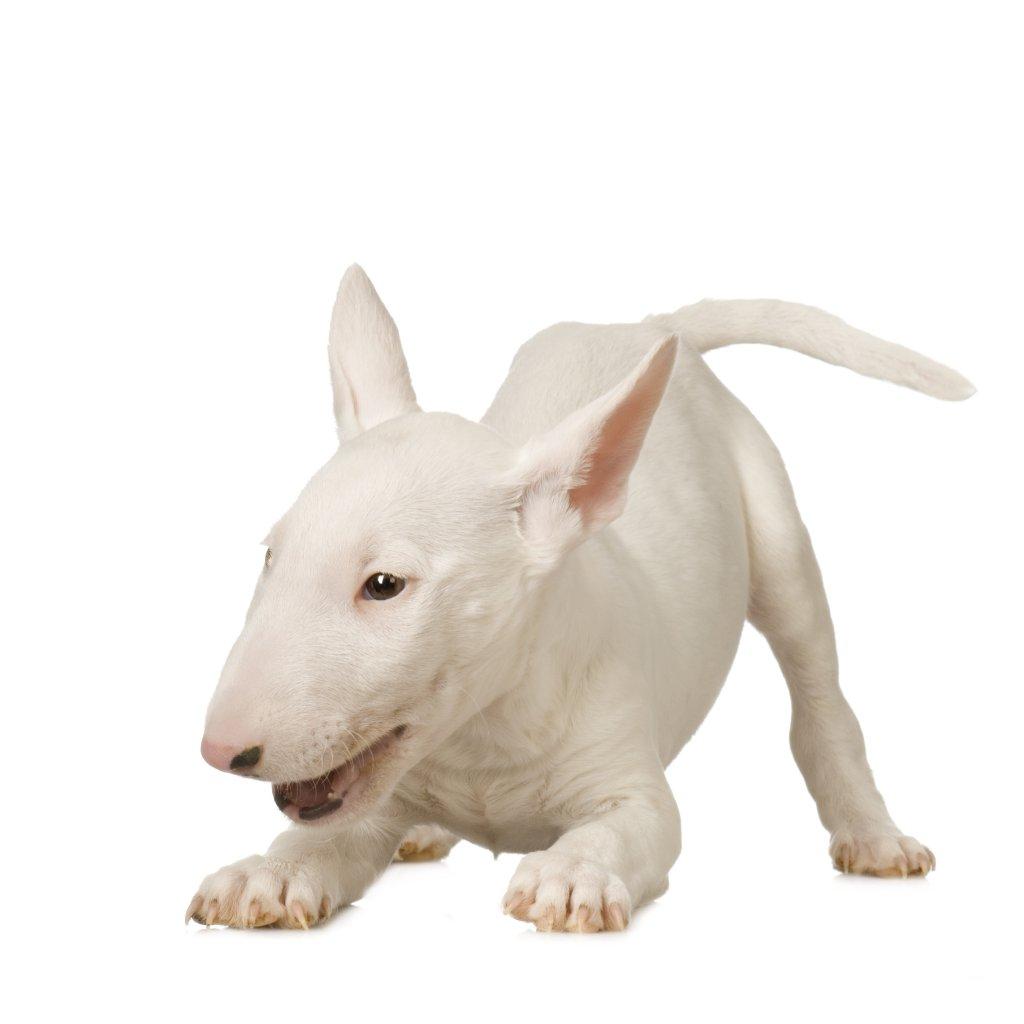 yavru Bull Terrier