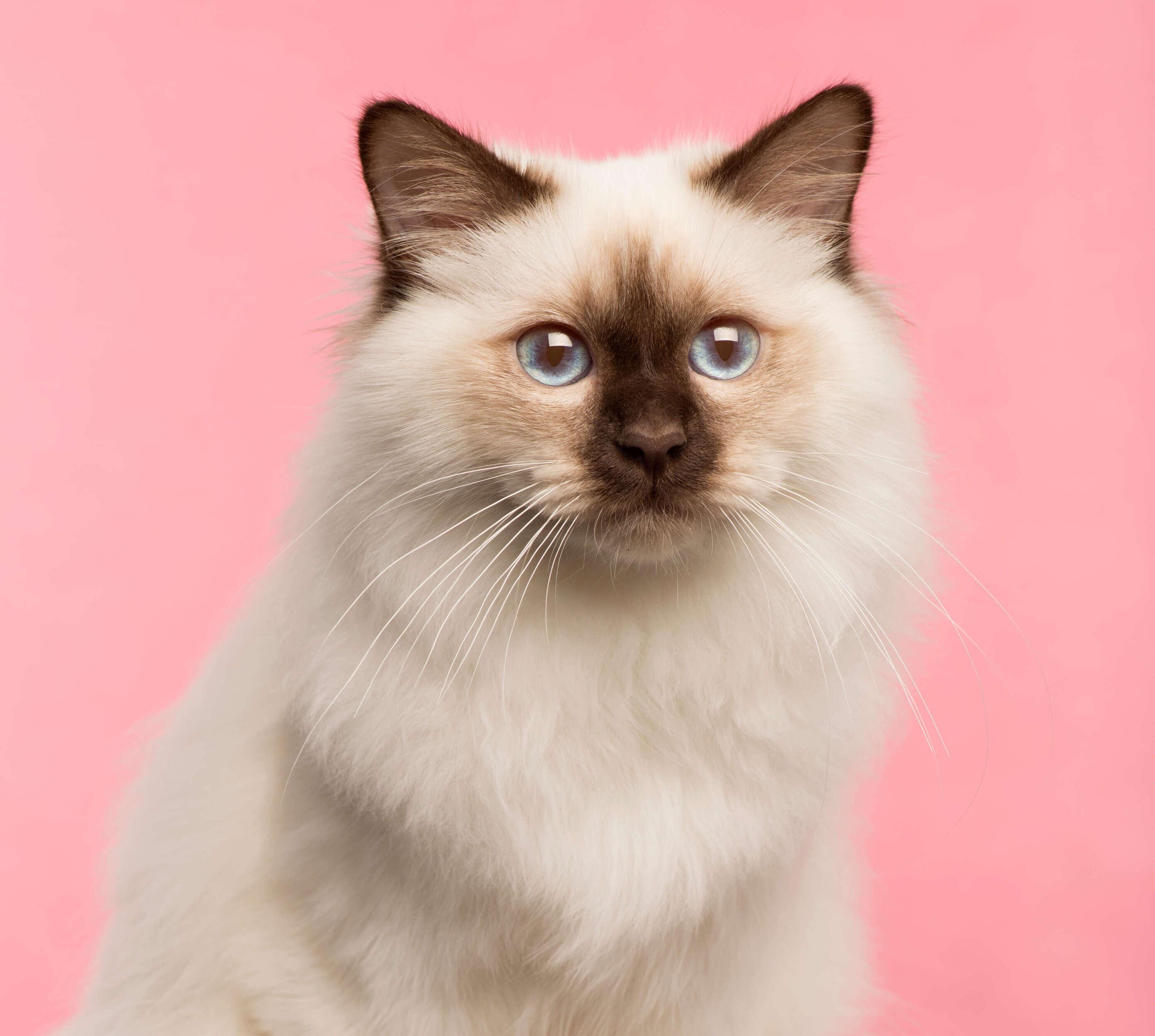 birman kedisi portresi