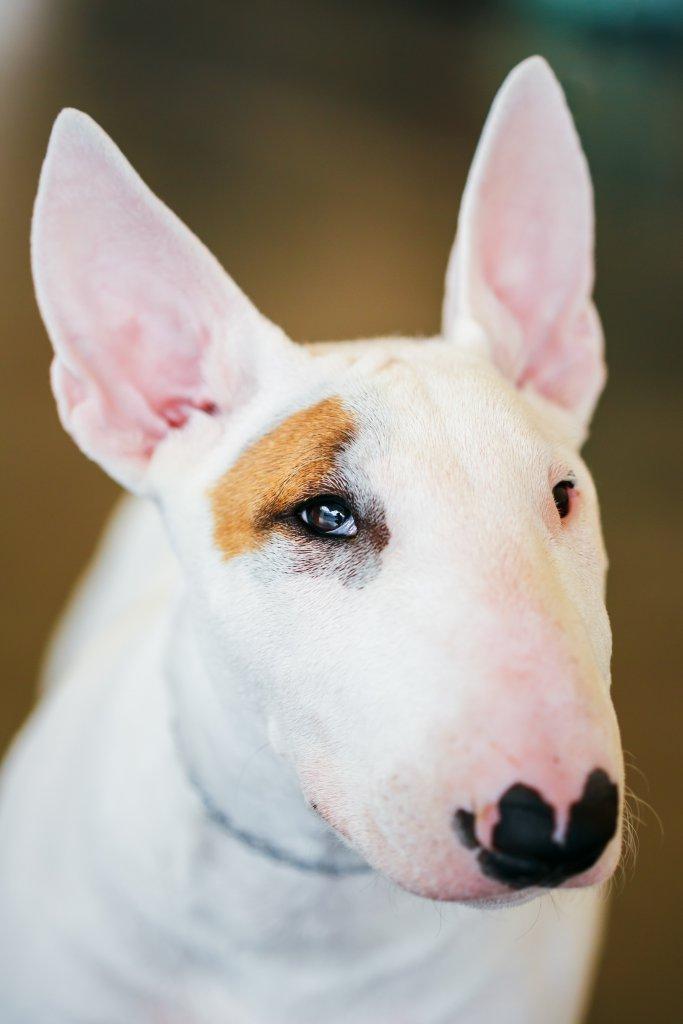 bullterier köpeği portresi
