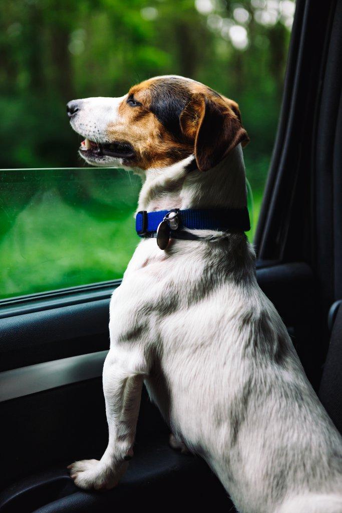 arabanın camından dışarı bakan jack russel